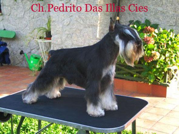 Ch. Illas Cies Pedrito campeon de España y Portugal
