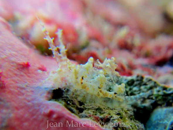 Eubranchus mandapamensis