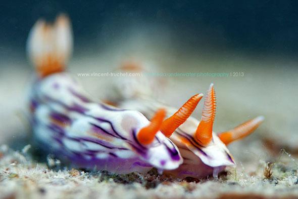 Hypselodoris zephyra