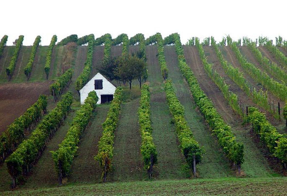 Weingarten, © ÖWM / Egon Mark