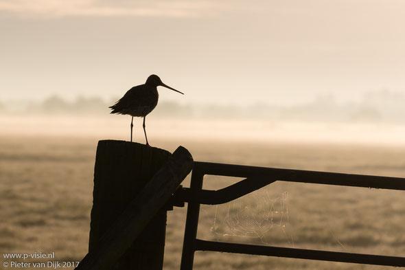 Grutto op hek bij zonsopkomst