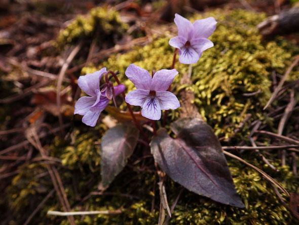 ハグロシハイスミレ (葉黒紫背菫) シハイスミレの変種。岐阜県から岡山県の山地に分布します