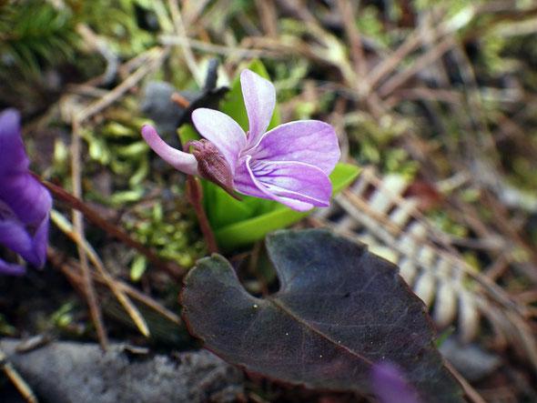 ハグロシハイスミレの葉の表面は暗紫褐色、基部は深い心形。距はぴょこんと跳ね上がります