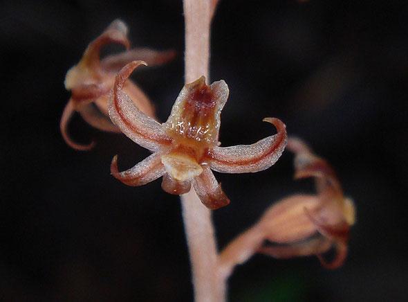 ヒメムヨウランの花柄子房はねじれないストレートタイプなので、唇弁は上側につきます