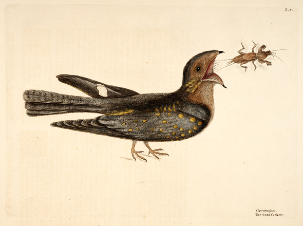 Mark Catesby Natural History
