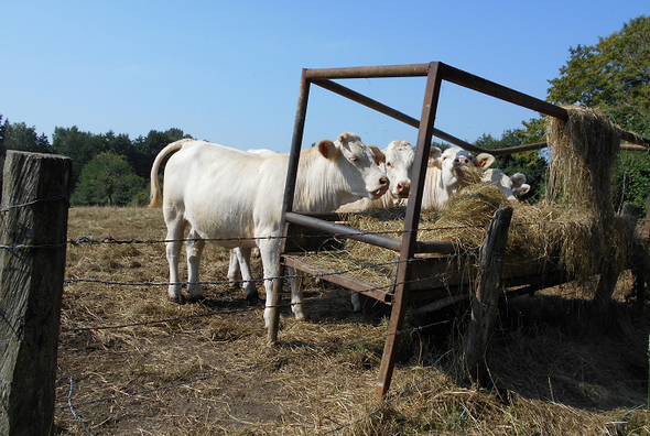 Rinder, Weidehaltung in Frankreich
