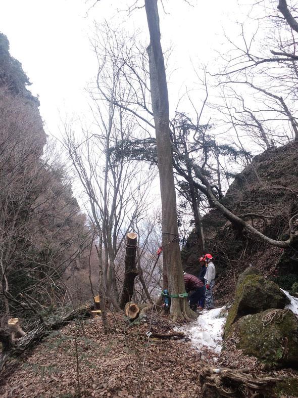 真ん中の木の上部に滑車をかけて引き上げ