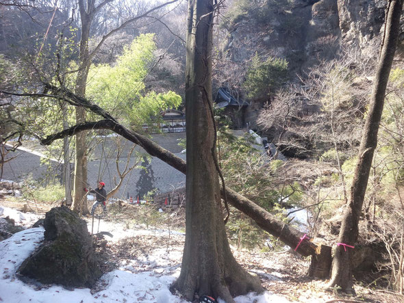 木の根元の先は崖です。真ん中の太い木の上から滑車で吊っています。