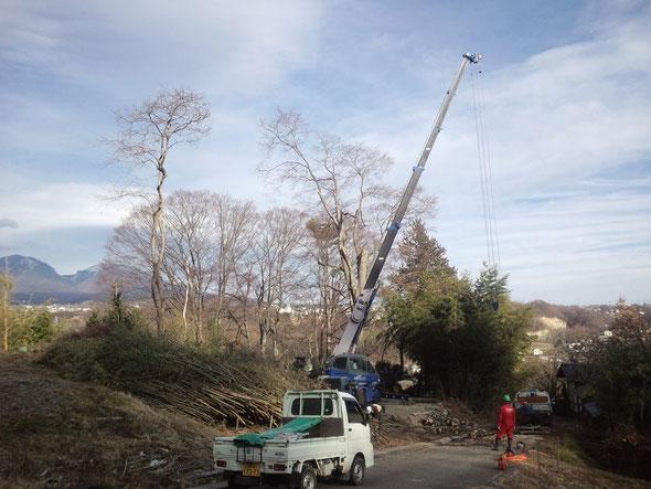 伐採作業中のケヤキ大木