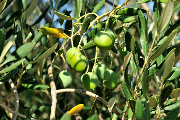 DSC_8916_L'olivier-Olea europaea-Oléacées