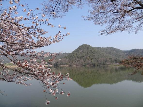 1年の過ぎるのは早いなぁ、そして桜が見られるこの時期、今日満開になったかと思ったら、もう散り始め、こちらも早い早い。職場近く、広沢池の桜も今が旬です。
