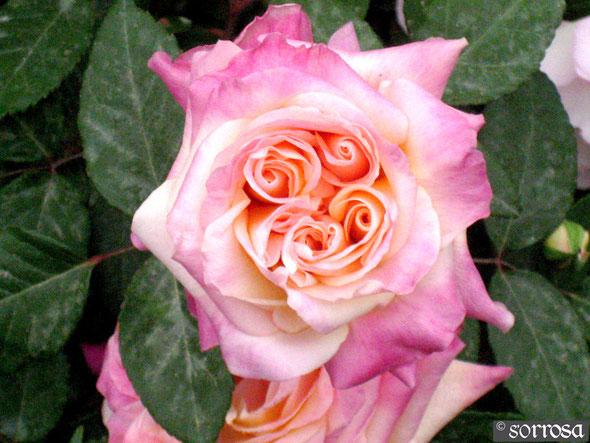 Mme Rose Romarin (Sangerhausen)