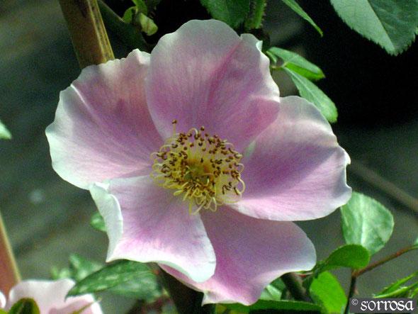 R. anemonoides