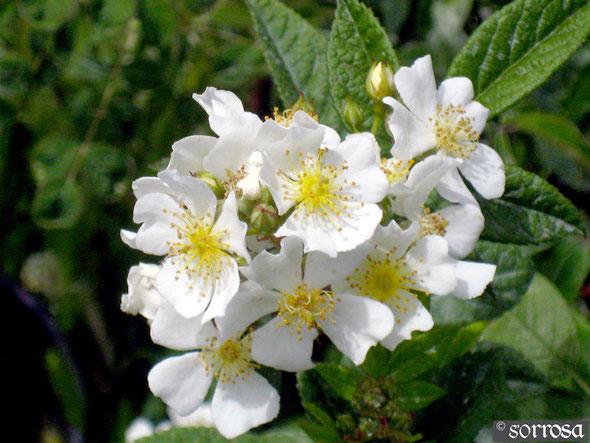 R. multiflora 'nana'