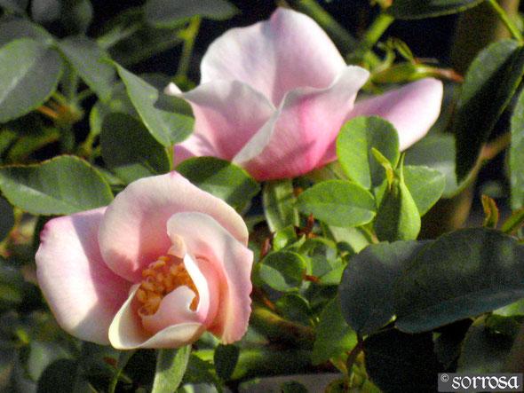 R. Chinensis 'spontanea' Pink Form