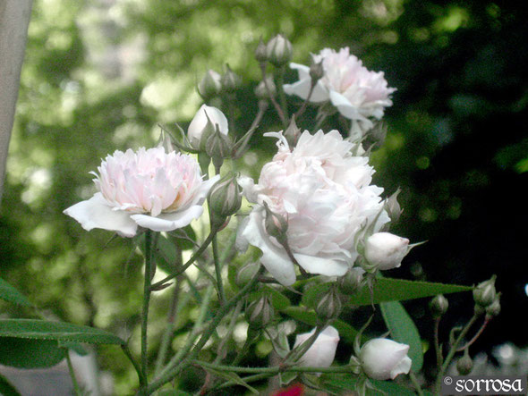 R. anemoneflora