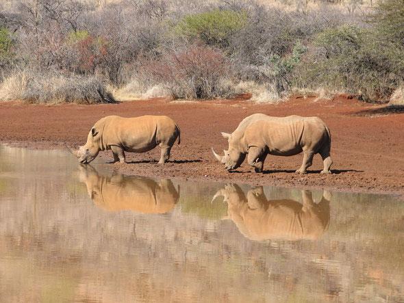 Ce couple de rhinos a une place prépondérante dans ce 3ème roman