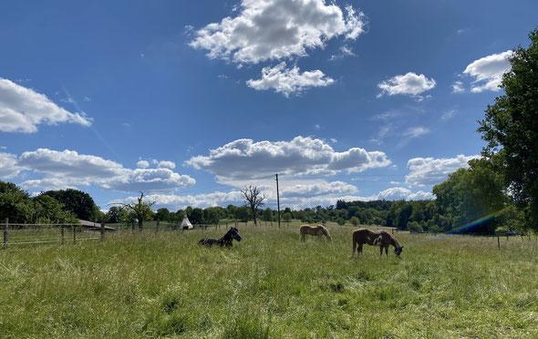 Wieder zu Hause auf der Weide