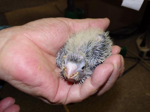 福岡兼手乗りインコ小鳥販売店ペットミッキンにて乗りオカメインコのパイドのヒナが仲間入りしました。