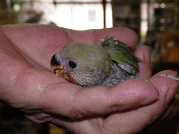 福岡県手乗りインコ小鳥販売店ペットショップミッキン 手乗りコザクラインコのヒナが仲間入りしました。