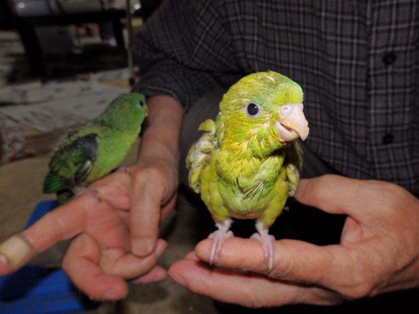 福岡県手乗りインコ小鳥販売店ペットミッキン 手乗りサザナミインコのヒナ珍しい色のヒナが仲間入りしました。