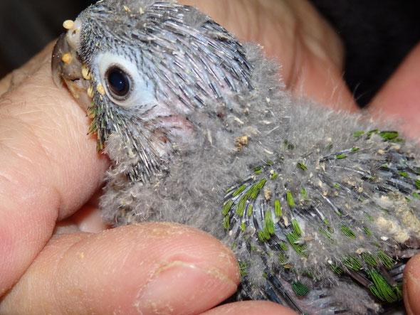 福岡県手乗りインコ小鳥販売店ペットショップミッキンに手乗りウロコインコのヒナが仲間入りしました。