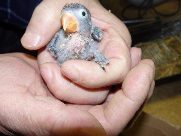 手乗りインコ小鳥販売店ペットミッキンに手乗り青ボタンインコのヒナが仲間入りしました。