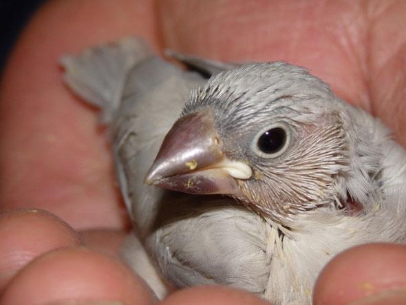 福岡県手乗りインコ小鳥販売店ペットショップミッキンに手乗りパステルシルバー文鳥のヒナが仲間入りしました。