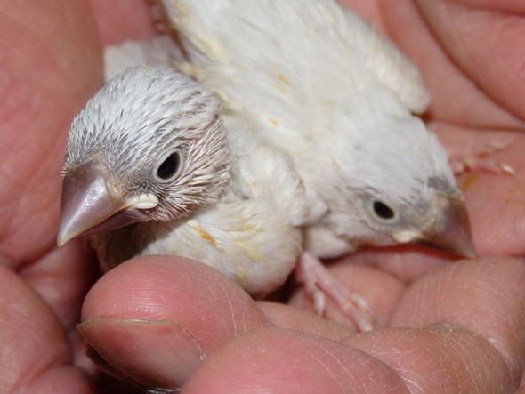 ペットミッキンに手乗りパステルシルバー文鳥のヒナが仲間入りしました。