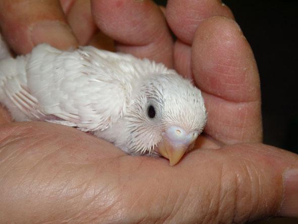 福岡県手乗りインコ小鳥販売店ペットショップミッキンに手乗り高級セキセイインコのヒナが仲間入りしました。