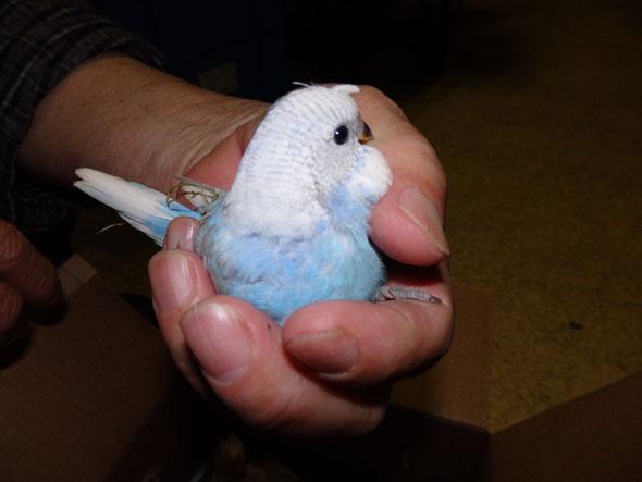 福岡県手乗りインコ小鳥販売店ペットショップミッキン 手のりブリティッシュブライアン系セキセイインコ梵天のヒナが仲間入りしました