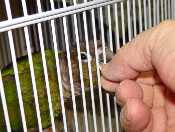 福岡手乗りインコ小鳥販売店ペットミッキンに手乗りウロコインコヒナが仲間入りしました。