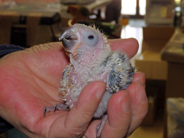 福岡県手乗りインコ小鳥販売店ペットショップミッキン 手乗りコガネメキシコインコのヒナが仲間入りしました。