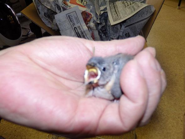 手乗りインコ小鳥販売店ペットショップミッキンに手乗り桜文鳥のヒナが仲間入りしました。