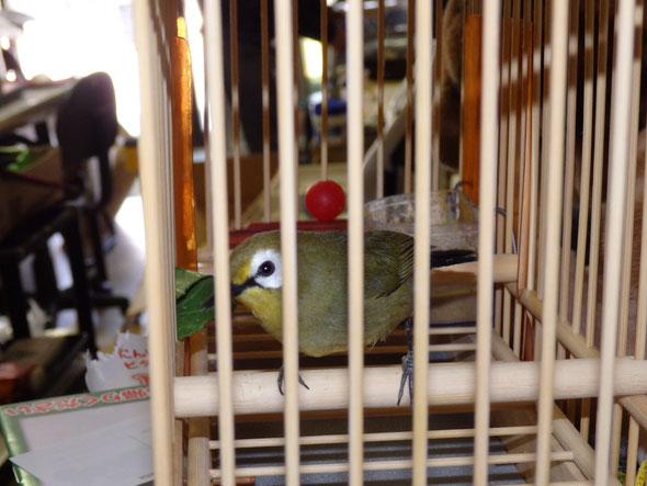 福岡県手乗りインコ小鳥販売店ペットショップミッキン アフリカヤマメジロが仲間入りしました。