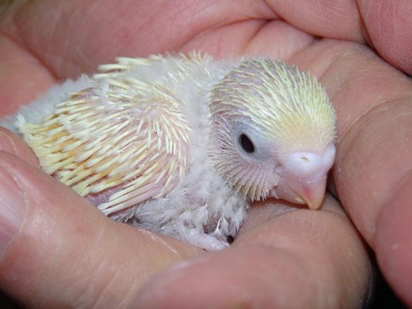 福岡県手乗りインコ小鳥販売店ペットショップミッキン 手乗りライトイエローの高級セキセイインコのヒナが仲間入りしました。