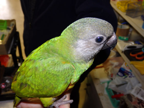 福岡県手乗りインコ小鳥販売店ペットショップミッキンの手乗りセネガルパロットが仲間入りしました。