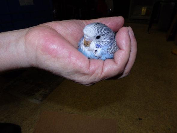 福岡県手乗りインコ小鳥販売店ペットショップミッキン 手乗りブリティッシュブライアン系ジャンボセキセイインコのヒナが仲間入りしました。。