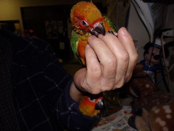 福岡県手乗りインコ小鳥販売店ペットショップミッキンに手乗りコガネメキシコインコのヒナが仲間入りしました。