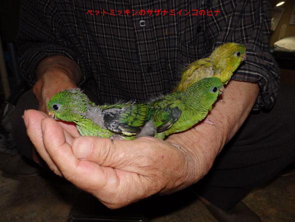 福岡県手乗りインコ小鳥販売店ペットミッキンに 手乗りサザナミインコのヒナのご紹介です。