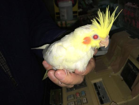 福岡県手乗りインコ小鳥販売店ペットショップミッキンに手乗りルチノーオカメインコのヒナが仲間入りしました。
