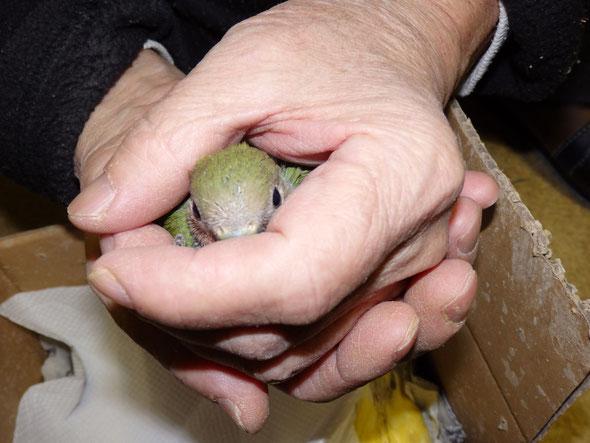 福岡県手乗りインコ小鳥販売店ペットショップミッキンに手で隠した手乗りインコヒナが仲間入りしました。