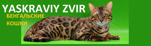 Бенгальские котята в Украине, Бенгальские котята в России.