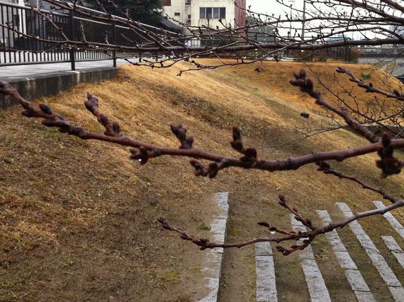 岡崎市 伊賀川の桜(つぼみがかなり大きくなりました)