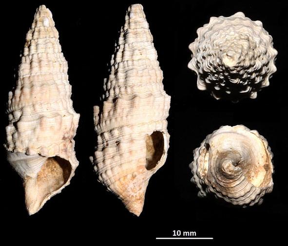 Cerithium cfr. varicosum, Macchia della Turchina (Monteromano, VT)