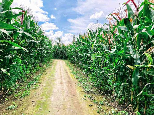 鏡石町 岩瀬牧場のトウモロコシ迷路