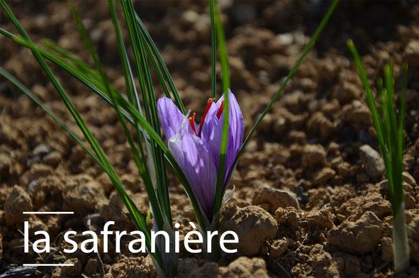 Fleur de safran à Ossès au Pays-Basque