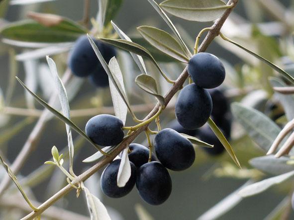 schwarze Oliven in Italien