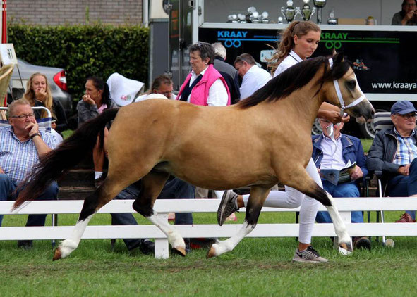 Oostdijk's Ceridwen Maybelline, ster, 2015 (Kastanjehof Amico x Oostdijk's Ceridwen Memory, vrl. keur) enorm trots op deze topper!  Maybelline became a 'Star' mare at the National Show 2018!