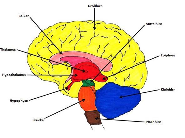 Wie ist das Gehirn aufgebaut? - Bio einfach erklärt